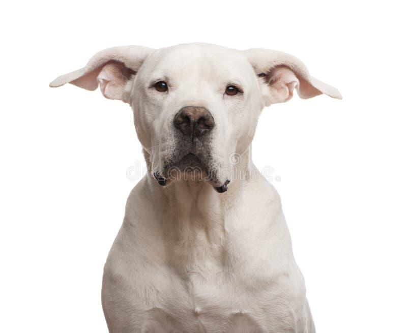 Nahaufnahme von einem Dogo Argentino, welches die Kamera betrachtet lizenzfreie stockbilder