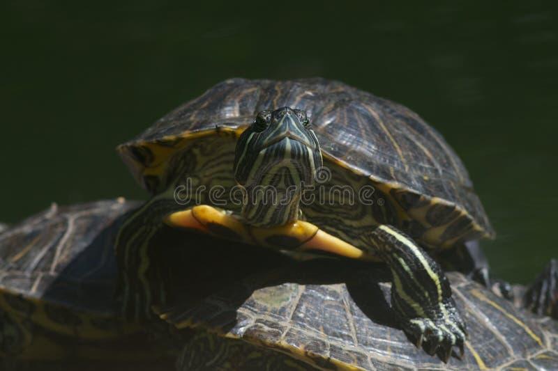 Nahaufnahme von einer Dosenschildkröte, die über anderen klettert stockfotos