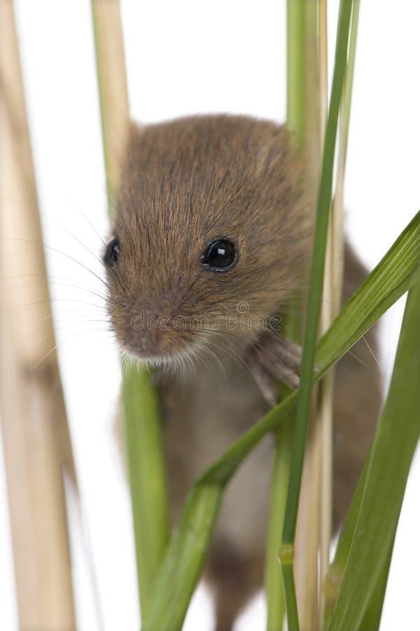 Nahaufnahme von Ernte Maus, Micromys-minutus stockfotos