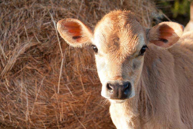 Nahaufnahme von friesen Milchkuhkalb stockfotografie