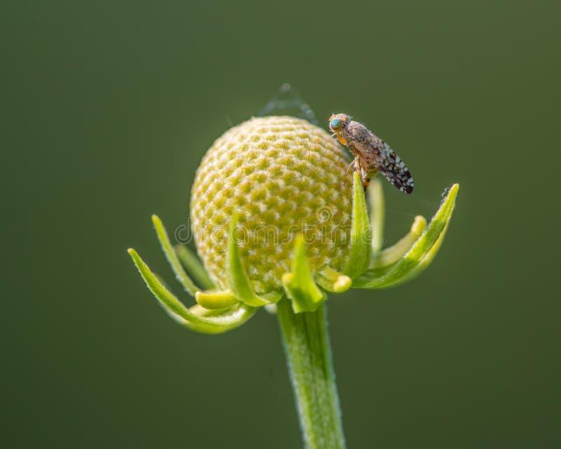 Nahaufnahme von Fruchtfliegenspezies auf den Resten des Kegels eines Wildflower, der seine Pedale - Theodore Wirth Park in Minnes lizenzfreies stockbild