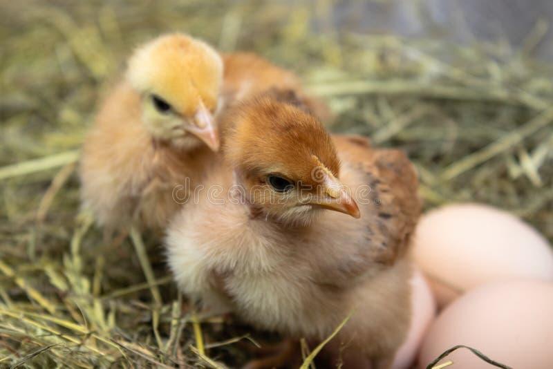 Nahaufnahme von gelben H?hnern im Nest, gelbe kleine H?hner, frisches Ei im Nest auf dem Bauernhof Gefl?gelzucht stockfotos