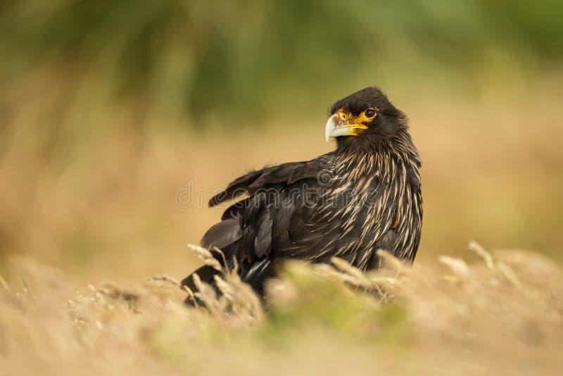 Nahaufnahme von gestreiften Falken im Gras gegen grünen Hintergrund, lizenzfreie stockfotos