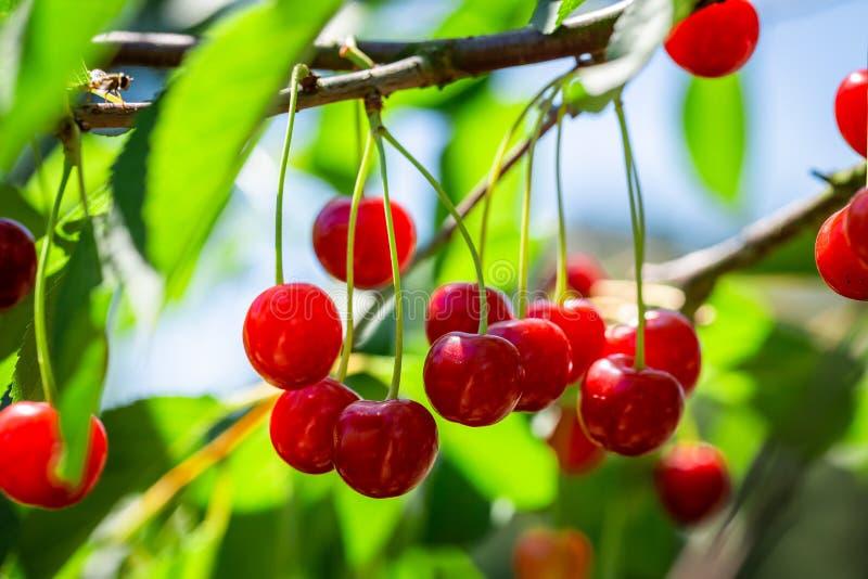 Nahaufnahme von gesunden süßen Kirschen auf Baum im Sommergarten stockfoto