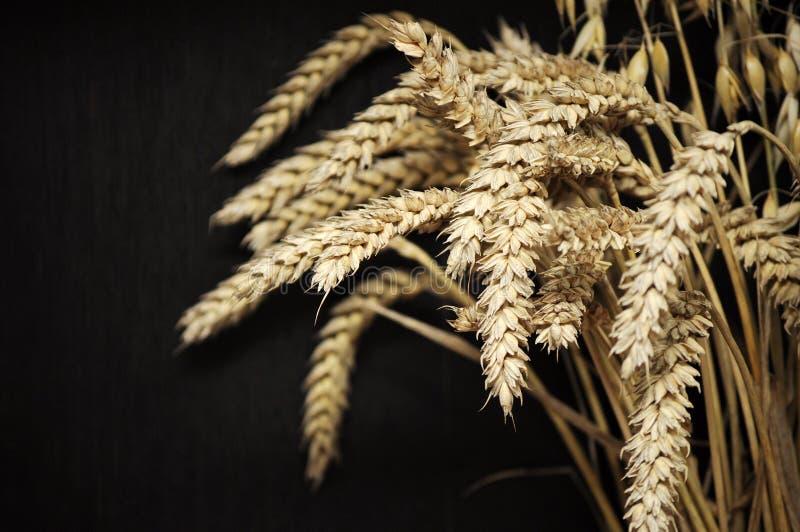 Nahaufnahme von goldenen Weizenähren auf dunklem Hintergrund lizenzfreie stockbilder