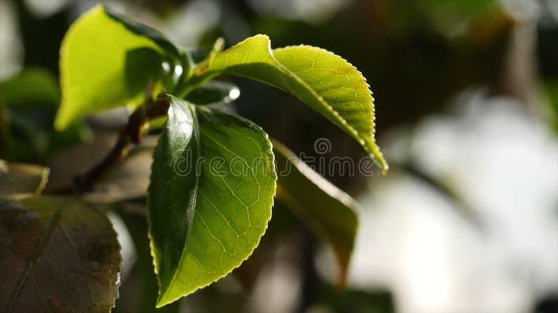 Nahaufnahme von grünen Baumblättern im Sonnenlicht Schöne frische saftige grüne Blätter belichtet durch Sonnenlicht Schönheit der stockbilder