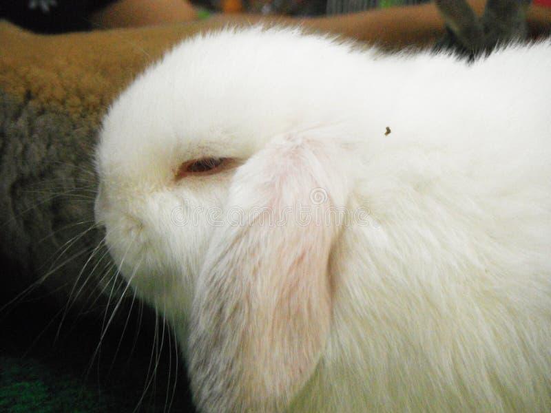 Nahaufnahme von Holland stutzen Kaninchen stockbild