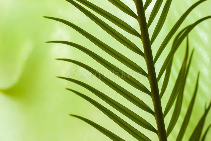 Nahaufnahme von jungen Palmblättern in den verschiedenen grünen Schatten, für natürliche Hintergründe stockfotos