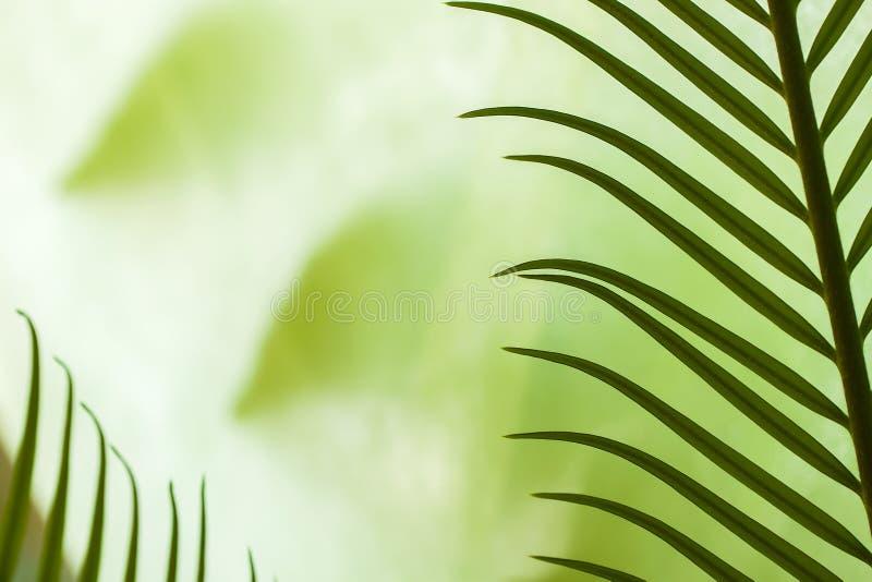 Nahaufnahme von jungen Palmblättern in den verschiedenen grünen Schatten, Idee für Hintergründe lizenzfreies stockfoto