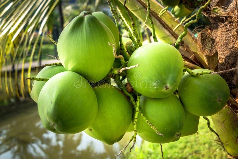 Nahaufnahme von Kokosnuss-Früchten lizenzfreie stockbilder