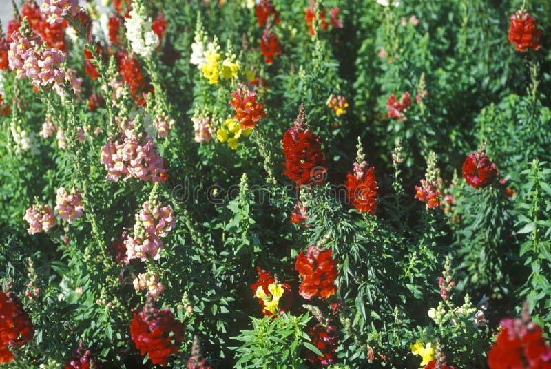 Nahaufnahme von Löwenmäulern in der Blüte, Tampa, FL stockbild