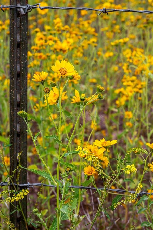 Nahaufnahme von mexikanischen Sonnenblumen, die Barb Wire Fence kreuzten stockfotos