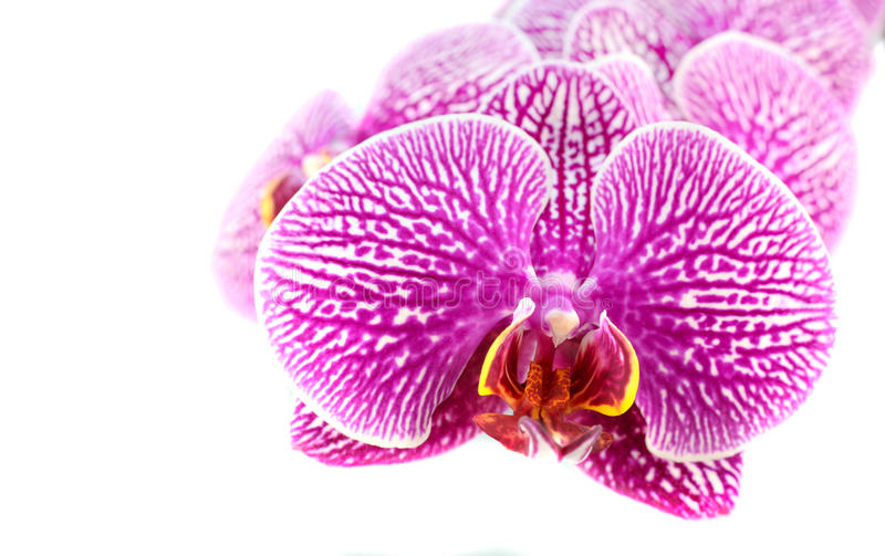 Nahaufnahme von Orchideen-Blumen auf Weiß stockfotos