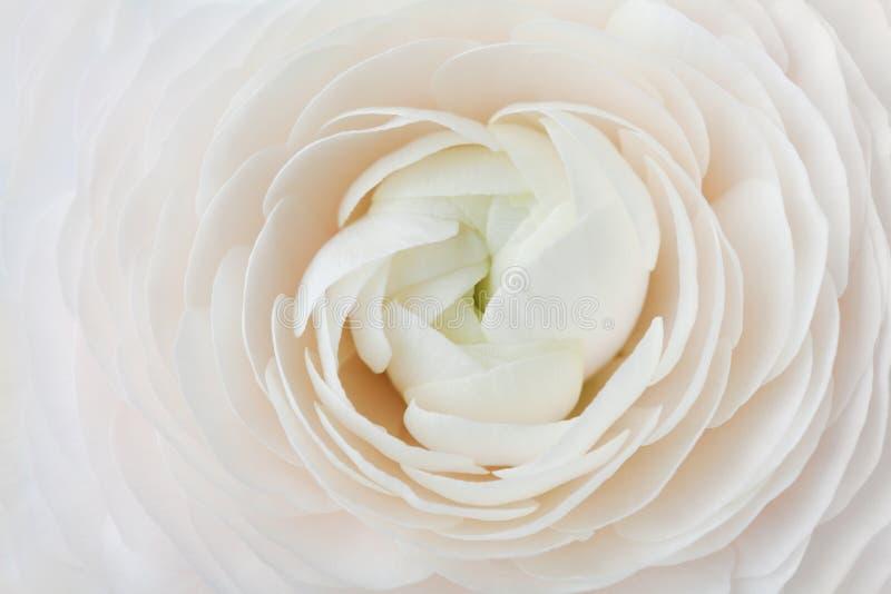 Nahaufnahme von Pfirsich Ranunculus für abstrakten Hintergrund, schöne Frühlingsblume, heiratendes Blumenmuster, Makro stockbild