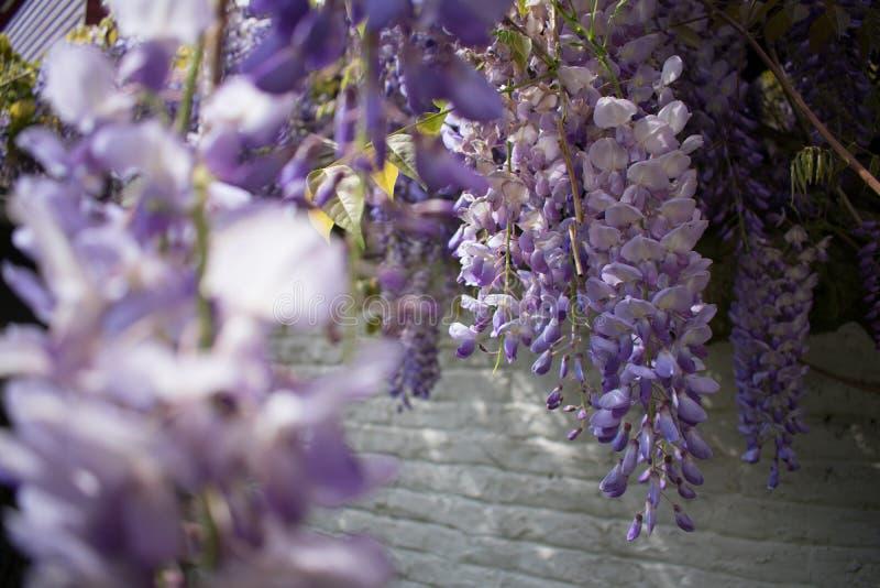 Nahaufnahme von purpurroten weißen Glyzinieblumen vor weißer Backsteinmauer stockbild