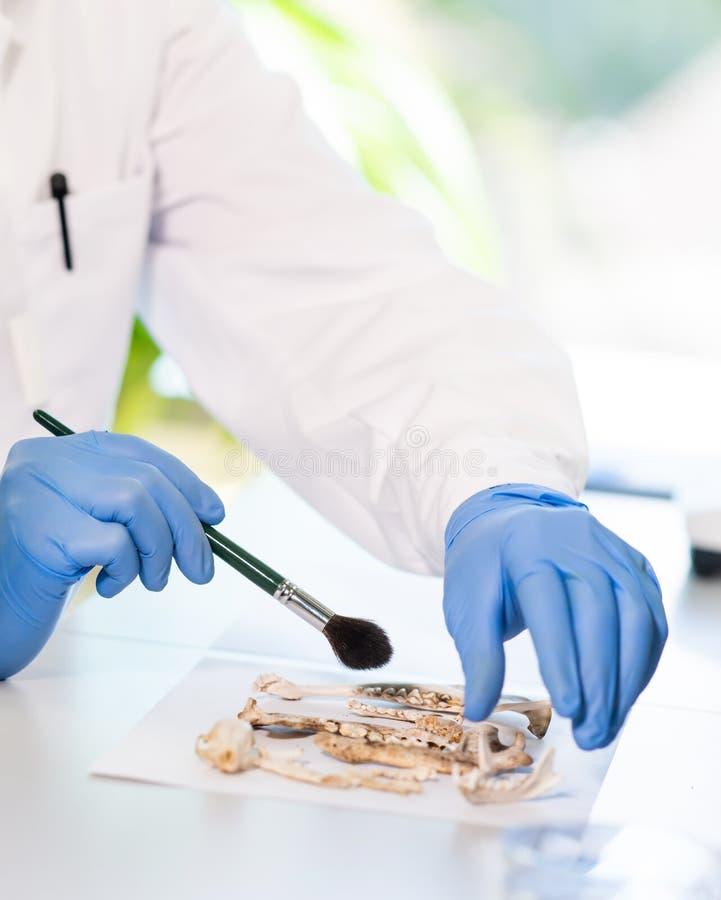Nahaufnahme von rchaeologist Funktion im natürlichen Forschungslabor Laborassistenzreinigungstierknochen Nahaufnahme der H?nde stockfotografie