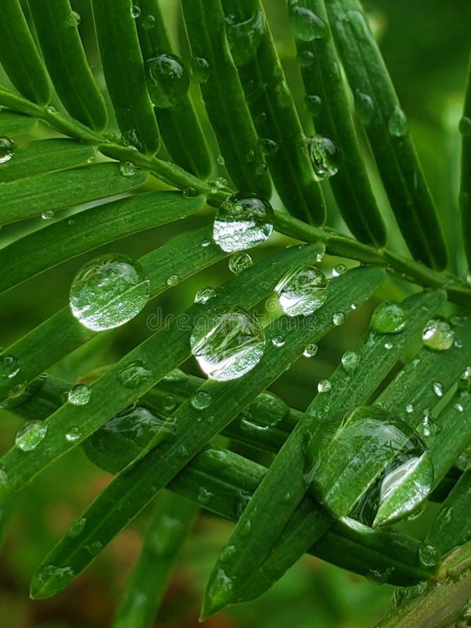 Nahaufnahme von Regentropfen auf einem Dawn Redwood-Baumast lizenzfreie stockfotografie