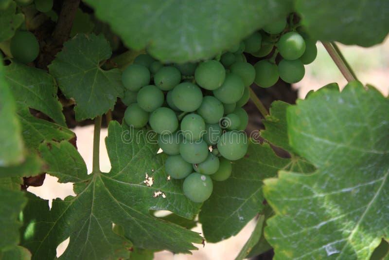 Nahaufnahme von reifen Trauben in einem Weinberg stockfoto