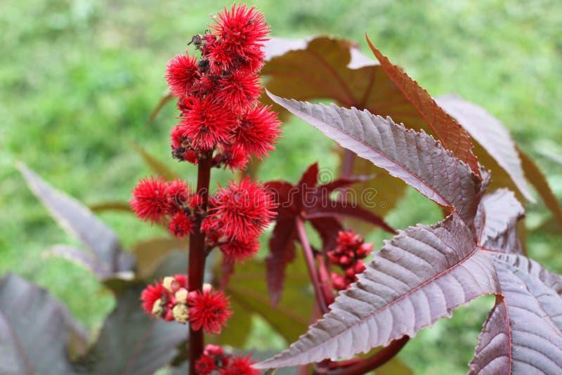 Nahaufnahme von Ricinus communis die Rizinuspflanze oder der Rizinus stockbild