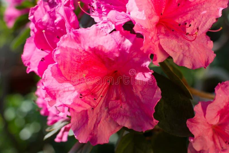 Nahaufnahme von rosa Azaleen lizenzfreie stockbilder