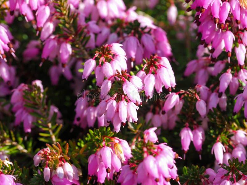 Nahaufnahme von rosa Blumen auf einer Heideanlage lizenzfreie stockfotos