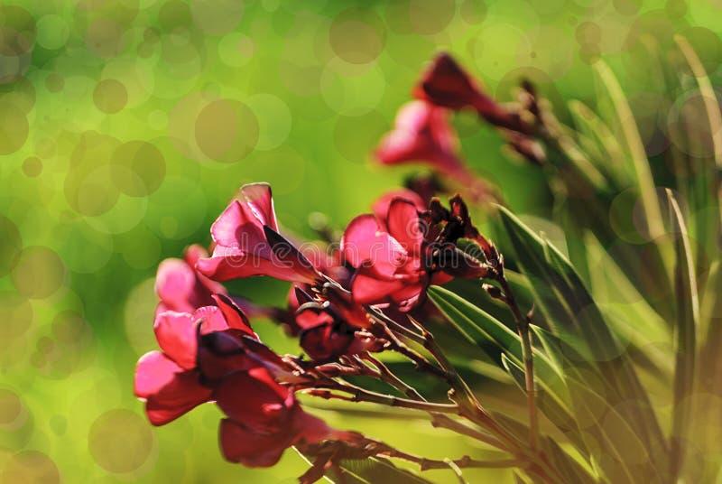 Nahaufnahme von rosa Blumen bei Sonnenuntergang Bokeh-Effekte Insel von Krete stockbild