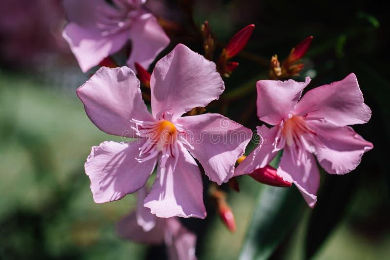 Nahaufnahme von rosa Blumen an einem sonnigen Tag Romantische und schöne Anlage lizenzfreies stockbild