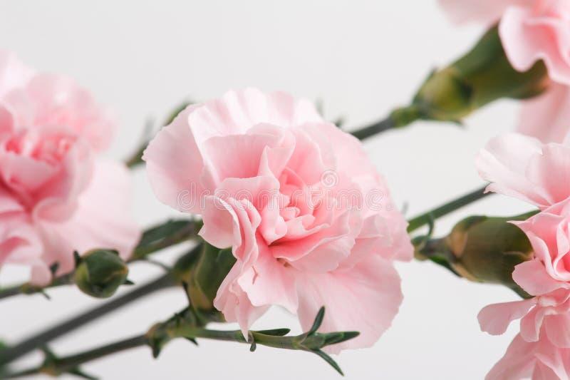 Nahaufnahme von rosa Gartennelken lizenzfreies stockbild