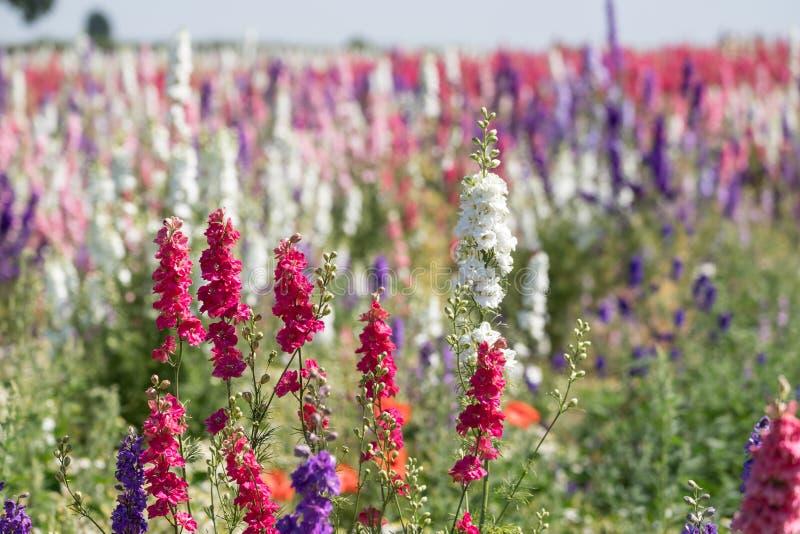 Nahaufnahme von rosa Rittersporen am Blumenbauernhof am Docht, Pershore, Worcestershire, Großbritannien Die Blumenblätter werden  lizenzfreies stockfoto