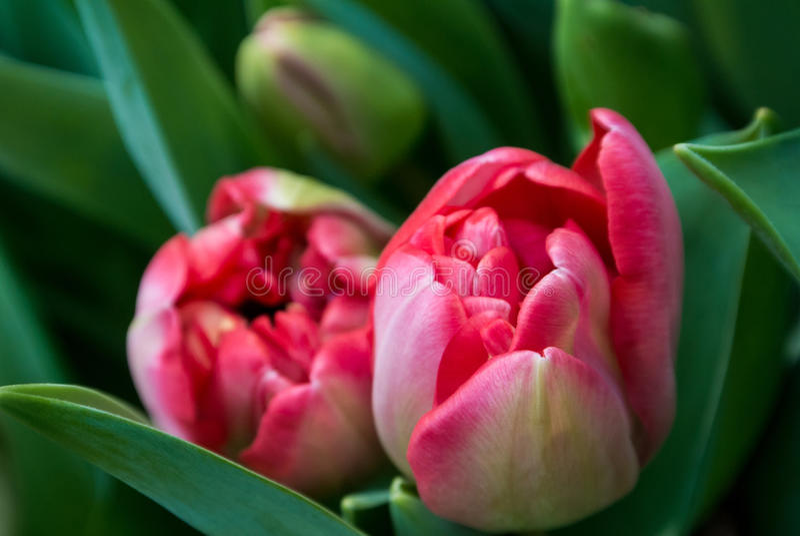 Nahaufnahme von rosa Tulpenblumen und von dunkelgrünen Blättern lizenzfreie stockfotografie