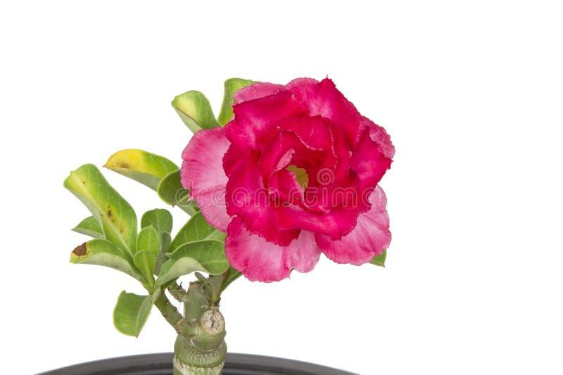 Nahaufnahme von roten Adeniumblumen auf einem wei?en Hintergrund lizenzfreie stockfotos