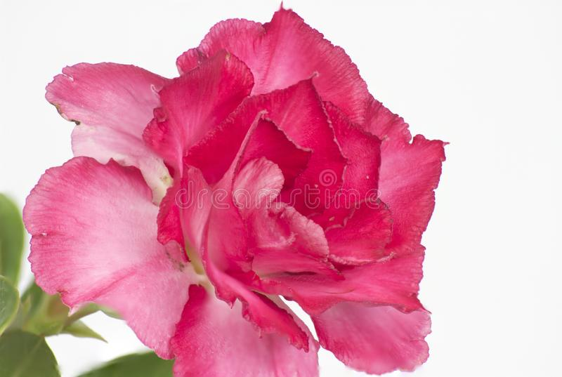 Nahaufnahme von roten Adeniumblumen auf einem wei?en Hintergrund stockfotos
