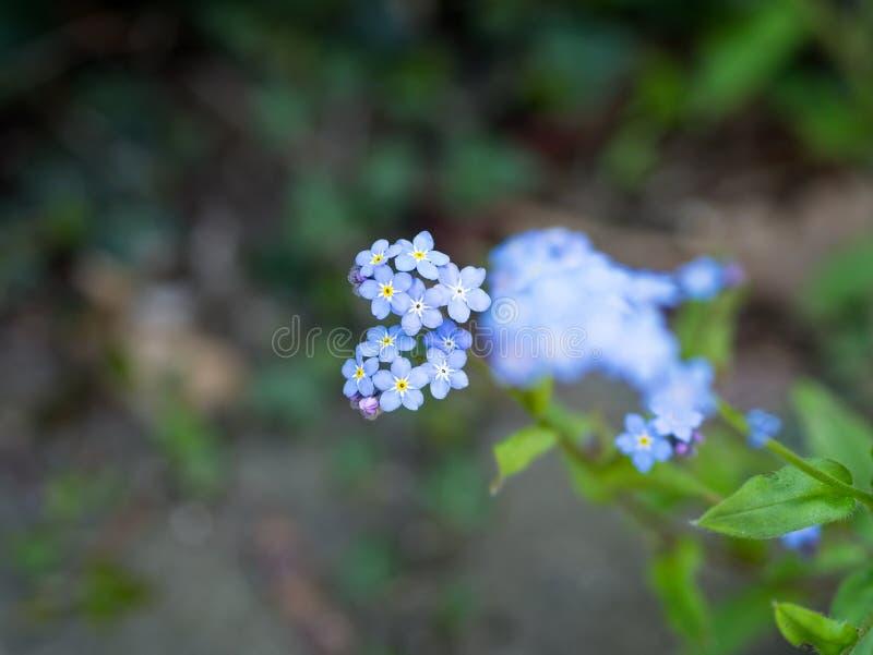 Nahaufnahme von schönen hellblauen Frühlingsblumen mich nicht auf einem grünen Hintergrund vergessen lizenzfreies stockfoto