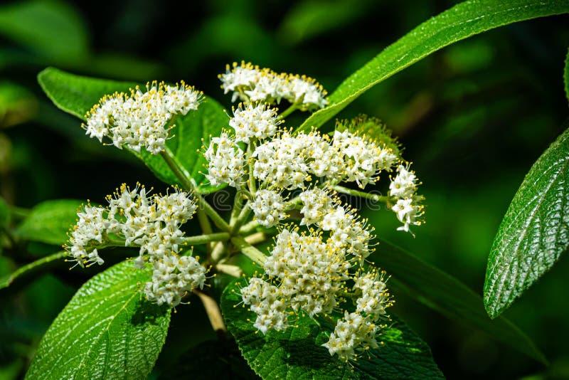 Nahaufnahme von schönen weißen Frühlingsblumen von leatherleaf Viburnum Viburnum rhytidophyllum Alleghany auf dunkelgrünem Hinter stockbilder