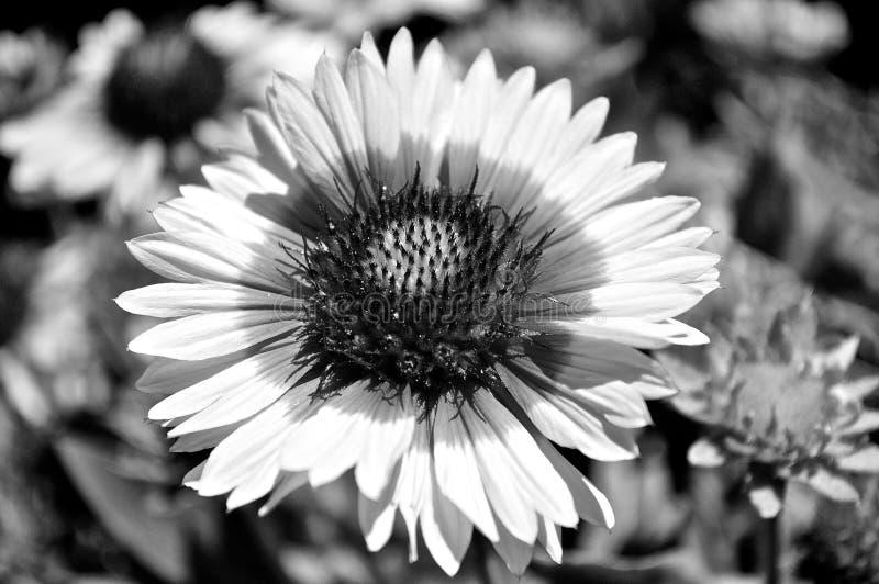 Nahaufnahme von Schwarzes gemusterter Susan In Black And White lizenzfreies stockbild