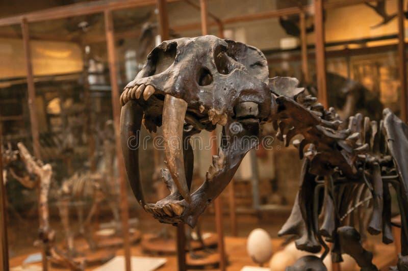 Nahaufnahme von Smilodon-Schädel an der Halle in der Galerie von Paläontologie und von vergleichbarer Anatomie in Paris stockfoto
