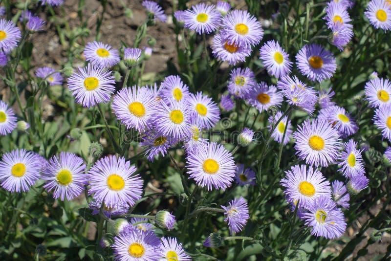 Nahaufnahme von violetten Blumen von Espe fleabane lizenzfreies stockbild