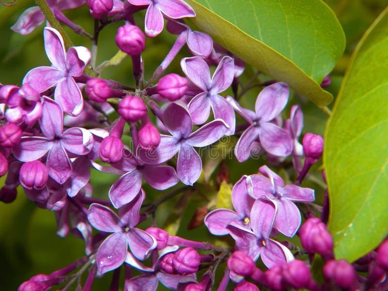 Nahaufnahme von violetten lila Blumen stockfoto