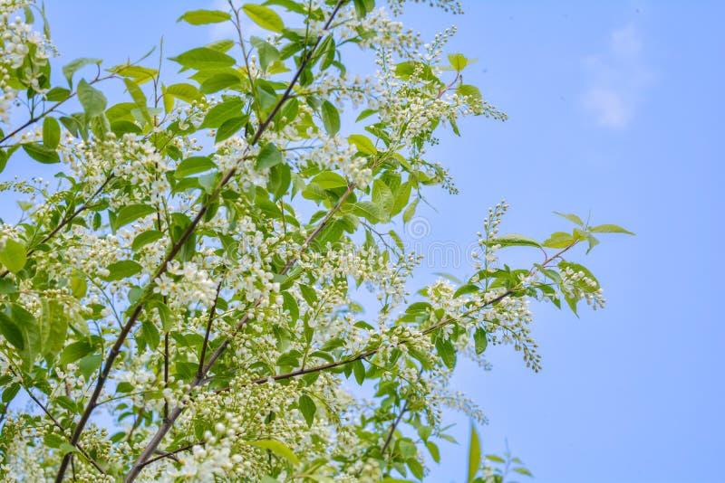 Nahaufnahme von Vogelkirschbaum Niederlassungen mit weißen Blumen in der Blüte auf blauem Himmel lizenzfreies stockfoto