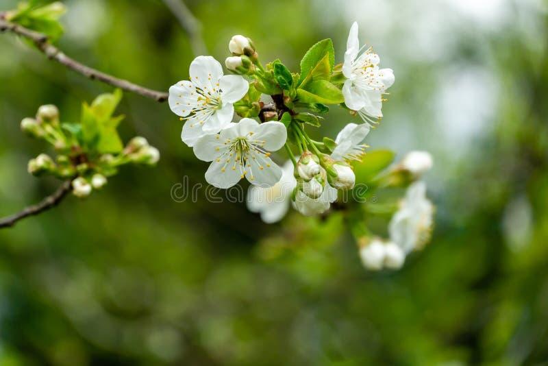 Nahaufnahme von weißen Kirschblumen blühen gegen den grünen Hintergrund Viel Tag der weißen Blumen im Frühjahr stockfotos