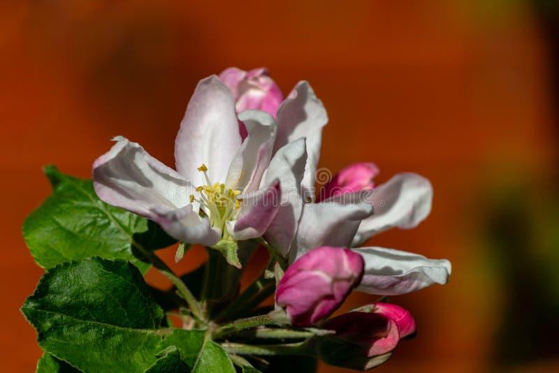 Nahaufnahme von weißen und rosa Apfelbaumblumen auf unscharfem Backsteinmauerhintergrund Helles sonniges Frühlingsthema für irgen stockbild