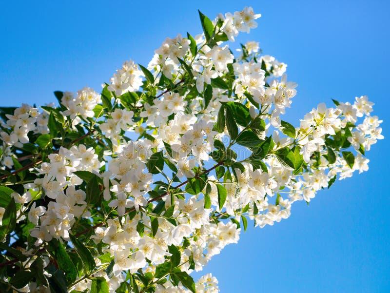 Nahaufnahme von weißen Jasminblumen stockbilder