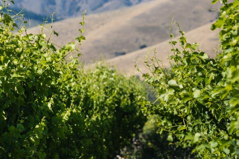 Nahaufnahme von Weinblättern und von Stämmen lizenzfreie stockbilder