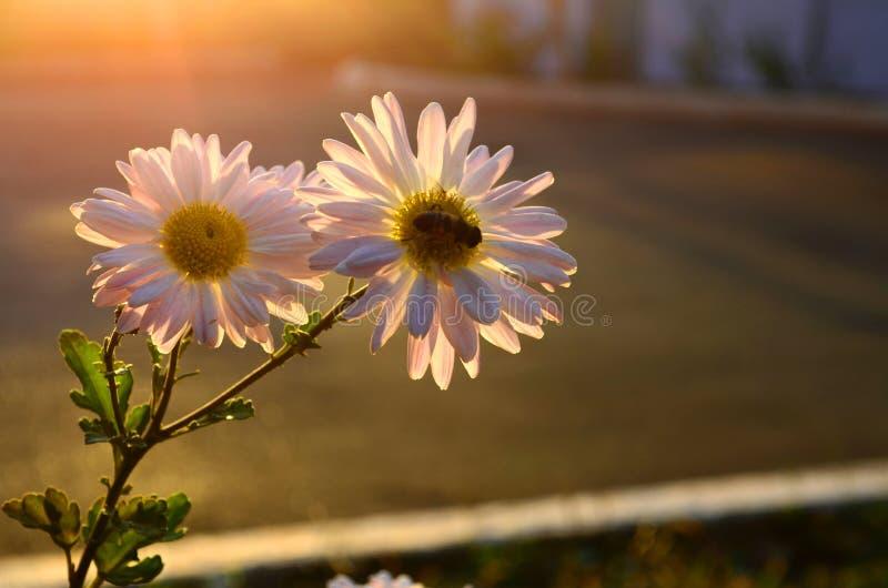Nahaufnahme von zwei Gänseblümchen mit Grün verlässt im Sonnenuntergang stockfotografie