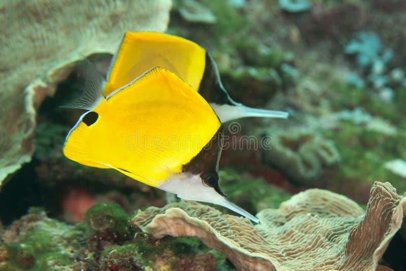 Nahaufnahme von zwei gelben langnasigen Butterflyfish, die über Korallenriff von Bali schwimmen stockbilder