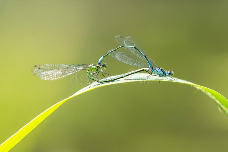 Nahaufnahme von zwei gemeinen bluetail Ischnura-elegans Damselflies, die Rad oder Herz verbinden stockfotos