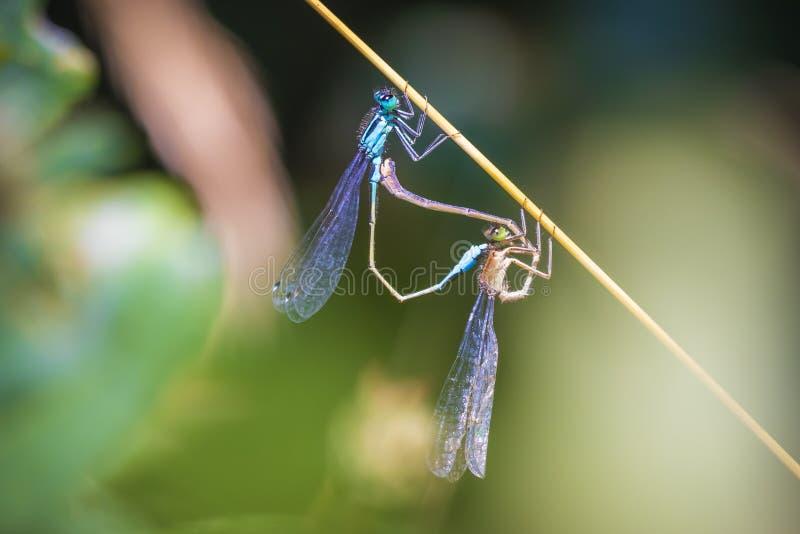 Nahaufnahme von zwei gemeinen bluetail Ischnura-elegans Damselflies, die Rad oder Herz verbinden lizenzfreies stockfoto