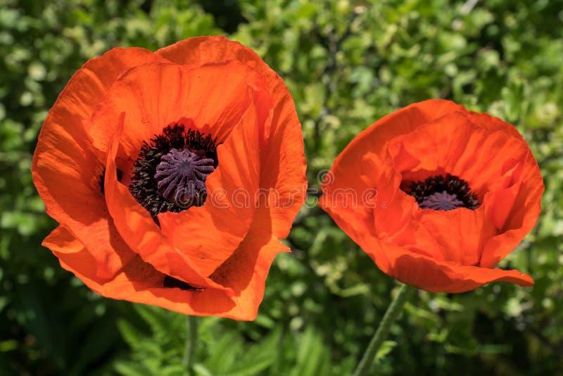 Nahaufnahme von zwei hellen orangefarbenen Mohnblumenblumen stockfoto
