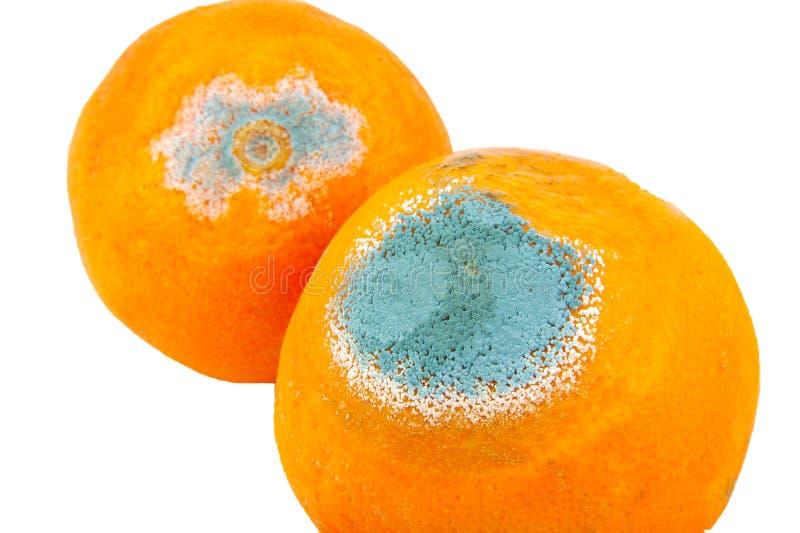 Nahaufnahme von zwei schimmelig und von den faulen Orangen lokalisiert lizenzfreies stockfoto