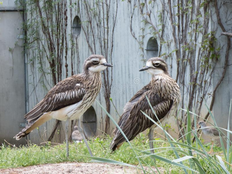 Nahaufnahme von zwei Wasservögeln lizenzfreies stockbild
